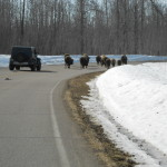 Bison on driveway