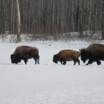 Bison winter snow