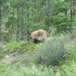 Grizzly bear Jasper Rocky Mountains