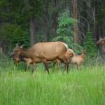 Female Elk and Sika Deer Alberta July 2012