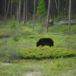Black Bear Alberta July 2012
