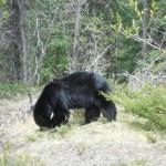 Blackbear Rocky Mountains