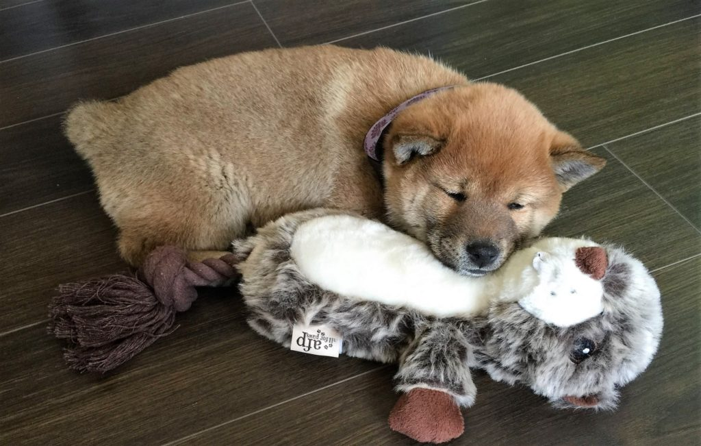 8-week-old-shiba-inu-sleeping-on-a-all-for-paws-afp-dog-toy-squirrel