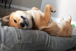 How to Train a Shiba Inu - Submissive Training