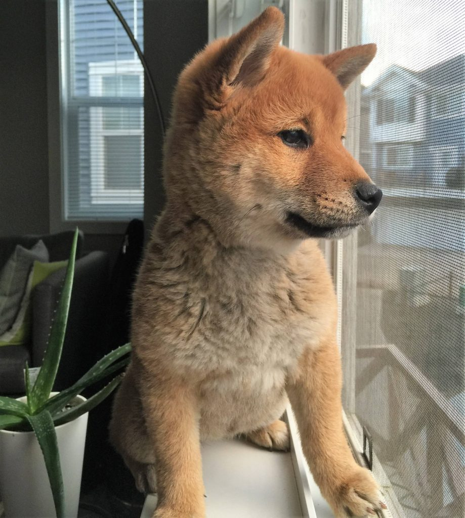 Red Sesame Shiba Inu (3-Month Old)
