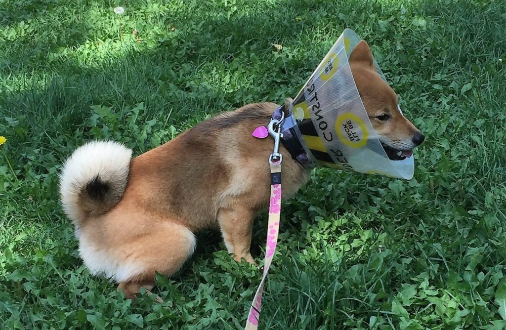 Shiba Inu Wearing a Cone after Being Fixed (6-Month Old)